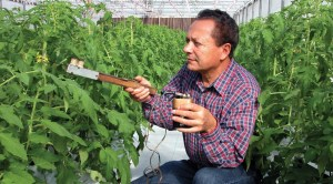A tomato grower demonstrates the use of a tomato tickler, a device that vibrates the tomato flower in order to release its pollen.