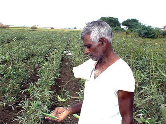 An Indian cotton farmer inspects his crop. Bt cotton, which requires high investment in chemical fertilizers, pesticides, and water, has caused many local farmers to go bankrupt and even take their own lives due to pest infestations, lack of irrigation, etc. leading to perpetual crop failures.