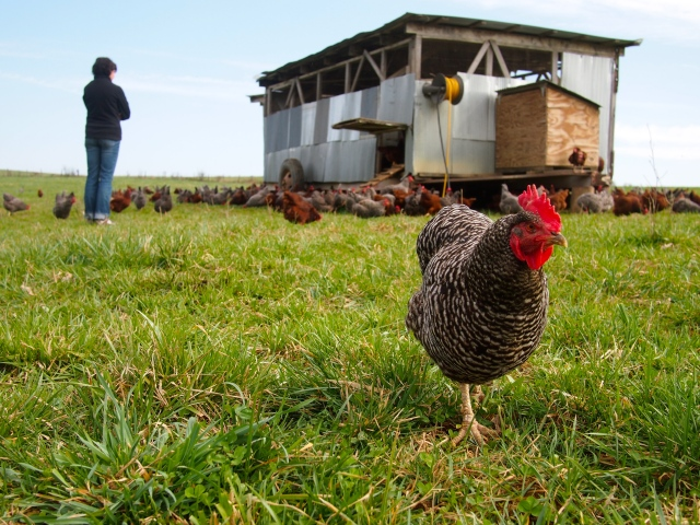 A chicken strolls in one of the lush fields of Polyface Farm as owner Joe Salatin looks on in the background. The chickens help fertilize the fields so that cows can graze on the nutrient-rich grass.