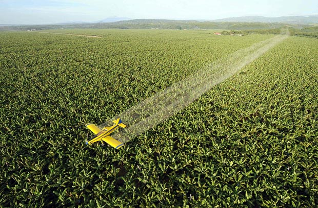 A large banana plantation is being sprayed with fungicide in an attempt to control a destructive leaf virus that is devastating banana crops across the globe. Photo from telegraph.co.uk.