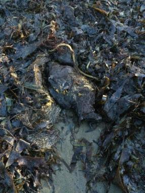 Dead fish, kelp and other sea life start to wash ashore in the aftermath of the Santa Barbara oil spill. (Photo: RaeAnn Christiansen. Sourced from CrowdAlbum)