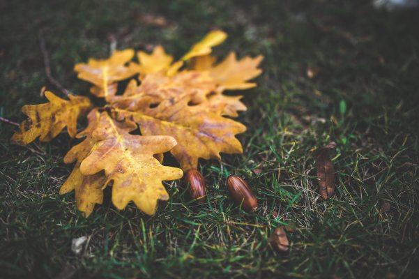 acorn-autumn-bright-6207